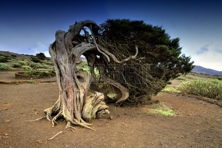 10063326-native-tree-twisted-by-the-force-of-wind-sabinar-el-hierro