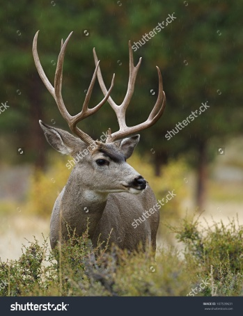 stock-photo-mule-deer-buck-with-huge-antlers-profile-portrait-107539631